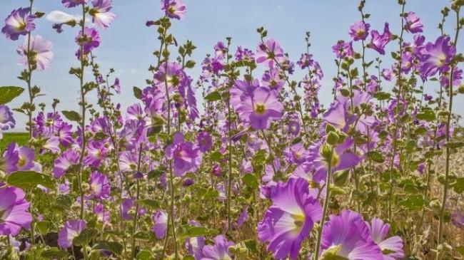 Diyarbakır'da hatmi çiçeği bolluğu