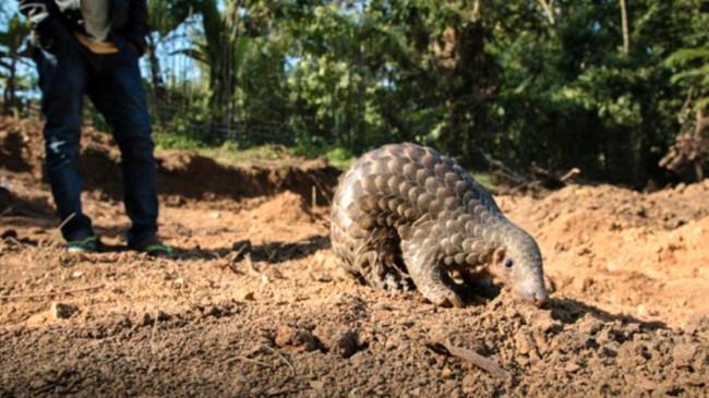 Yeni küresel salgın için alarm! Myanmar, kaplan ve pangolin gibi çok sayıda türü ticari amaçlı yetiştirecek