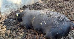 Yılan sokması sonucu kurbanlık 3 büyükbaş hayvanı telef oldu